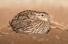 Stubble Quail (female) (chrissteeles) Tags: stubblequail quail bird birding freeling southaustralia sa