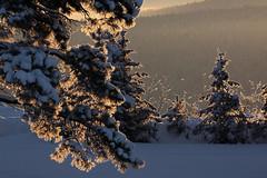 Morning magic (windyhill623) Tags: dawn sunrise hoarfrost snow backlighting beautifullight winter frost mountain meadow forest tree conifer morning light outdoor landscape eastkootenay britishcolumbia canada wow