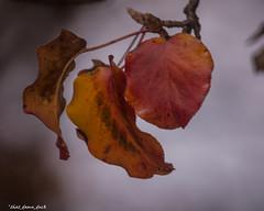 Fall Leaf Trio (that_damn_duck) Tags: leaves fall autumn colorsoffall autumncolors nature fieldofdepth