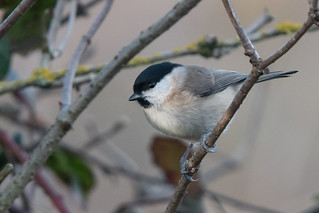 Compare the Marsh Tit