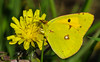 Cercando Il Giallo - Colias Crocea (G.Sartori.510) Tags: pentaxk1 hdpentaxdfa150450mmf4556eddcaw farfalla butterfly coliascrocea yellowtragopogon giallo yellow macro