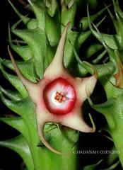 Huernia verekeri (Starfish flower) (Wonder Kitsune (Catching up !)) Tags: stapeliad huerniaverekeri huernia apocynaceae asclepiadaceae asclepiads asclepiad succulentplant succulent unusualflowers unusual cactisucculent cactiandsucculents