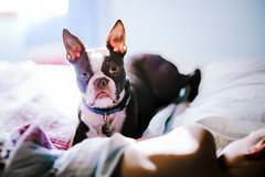 (Rebecca812) Tags: dog bed boy bostonterrier pet window sunlight day bedroom storytelling cute friendship companion togetherness people portrait candid quilt pillow rebeccanelson rebecca812