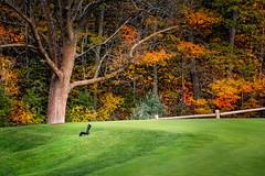 looking for nuts (JimfromCanada) Tags: golf course squirrel grass green fall autumn ontario dundas hamilton tree nikon colour color