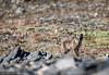 I see you! (JohannesLundberg) Tags: vulpeslagopus eutheria wrangelislandarcticdesert mammalia asia chukotkaautonomousokrug wrangelisland arcticislands2017 theria expedition vulpes carnivora canidae russia alopexlagopus arktiskaöar2017 chukotskyavtonomnyokrug pa1113 arcticfox fjällräv ostrovvrangelya polarfox polarräv snowfox whitefox чуко́тскийавтоно́мныйо́круг о́строввра́нгеля ru