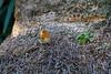 un Pettirosso curioso mi segue mimetizzandosi alla base delle palme (Carla@) Tags: pettirosso erithacusrubecula wildlife nature liguria italia europa mfcc canon coth alittlebeauty thesunshinegroup coth5