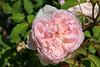Maig_1510 (Joanbrebo) Tags: barcelona catalunya españa es park parque parc parccervantes garden jardí jardín rosa rose flors flores fleur flowers fiori blumen blossom canoneos70d eosd efs18135mmf3556is autofocus