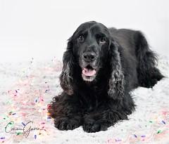 51/52 - Sammy 2017 (conniegavin12) Tags: 52weeksfordogs dogsandtheholidays fieldspaniel spaniel dog pet christmas