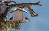 _JHS8831 (Bribes de terre) Tags: faune oiseau hiver chardonneret