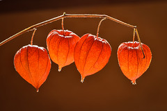 Guirlande chinoise pour vous... JOYEUX  NOËL (watbled05) Tags: fleurs macro physalis contrejour végétaux plante