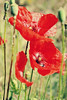 De seda roja (Violeta G.) Tags: amapolas rojas campo silvestre primavera plantas