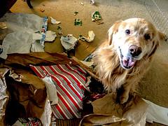 Christmas Morning (bztraining) Tags: dogchal henry bzdogs bztraining golden retriever 3652017