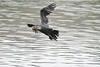 DSC_4337 (rtatn8) Tags: amwellnr hertfordshire england uk wildlife bird flikr cormorant phalacrocoraxcarbo