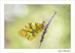 Zegris eupheme (Adria Miralles) Tags: zegris eupheme pieridae butterfly butterflies insecto bug insect mariposa papallona lepidoptera nature biodiversidad biodiversity madrid spain iberia macro nikon macrophotography naturephotography
