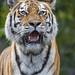Portrait of a Siberian tigress