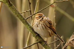 Female Reed Bunting (raven fandango) Tags: female reed bunting amwell amwellnaturereserve 2018 january british bird birds birding canon countryside centre eos 7d ii 100400 mk dof bokeh england english hertfordshire herts nature national photography photo photos reserve rspb trust uk wildlife wildbirds wild wetland ware winter