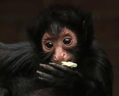 redfaced spidermonkey artis BB2A2900 (j.a.kok) Tags: slingeraap roodgezichtslingeraap redfacedspidermonkey spidermonkey monkey aap artis animal zuidamerika southamerica mammal zoogdier dier primaat primate priya