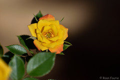 Small Yellow Rose (roanfourie (will be back soon, work & life!)) Tags: nikon d3400 70300 nikkor rose yellow plant flower macro bokeh flowers plants roses afp dx 70300mm flickr floraofsouthafrica southafrica africa stilfontein flora floral