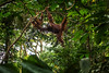 Tree Canopy Capers (Richard Davy - The World As I See It) Tags: orangutan ape jungle tree trees woods forest rainforest sumatra indonesia primate mother infant