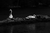 Precious, a pair of Mute Swans, black and white.               IMG_3816 2 (Thank U All for over 2,700,000 views LOVE !) Tags: swans lakeontario isbe flickr apple love peace respect water torontocenterisland canada reflections blackandwhite