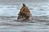The fool (luciano.leuzzi) Tags: orso bear mammiferi lago acqua salmone predatori taiga bosco