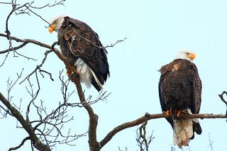 bald eagles at Decorah Fish Hatchery IA 854A1237
