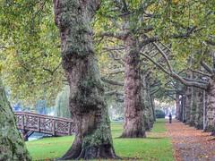 Heemraadsingel (sander_sloots) Tags: heemraadsingel rotterdam trees bomen singel autumn herfst leaves bladeren platanen planatus plane tree bridge wooden houten brug