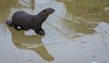 Curling with a pebble. (neil 36) Tags: giant otter on ice curling pebble nikon d7200 nikor 200500mm reflaction pteronura brasiliensis female endemic south america