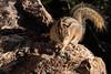 grand_canyon_6 (Adriano Soldatelli) Tags: américadonorte américas arizona estadosunidos grandcanyon viagem esquilo