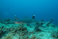 shark2Oct26-17 (divindk) Tags: fiji fijianislands shark southpacificocean triaenodonobesus underwater whitetipreefshark whitetipshark whitetippedreefshark diverdoug fearsome hunter jaws marine ocean predator reef sea teeth underwaterphotography