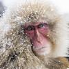 Those Eyes! (pixellesley) Tags: japanesemacaque monkey snowmonkey portrait snow cold hotspring japan bathing lounging nursing fur animal wild macacafuscata