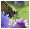 Backlit Butterfly (Graham Pym) Tags: nikon proboscis flora butterfly antennae palp wings