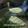 Opuntia tomentosa-5 (SUBENUIX) Tags: cactaceaeopuntias opuntiatomentosa suculentas subenuix subenuixcom planta suculent suculenta botanic botanical