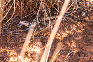 Common Checkered Whiptail 1