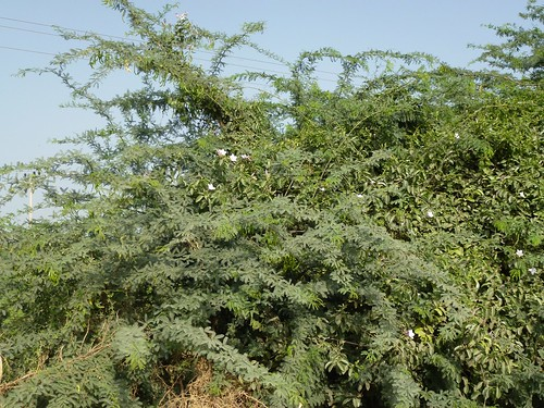 Prosopis juliflora covered by a local vine that has the ability to destroy the plant