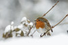 european robin all puffed up (☾allisto) Tags: europeanrobin erithacusrubecula winter snow cold bird wildlife animal nature cute fluffy