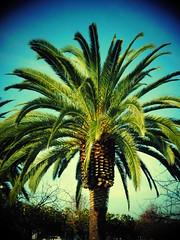 DSCN2634 (earthdog) Tags: 2017 nikon coolpix s7000 nikoncoolpixs7000 needstags needstitle tree palmtree palm sanjose
