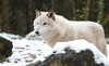 OLE (babsbaron) Tags: nature tiere animals raubtier predator wildtier jäger hunter wolfwölfe wolves timberwolf lüneburg lüneburgerheide wildpark