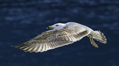 Fly away (. Christian Ferrer .) Tags: fly flight vol larus michahellis nikon laridae sète hérault occitanie yellowlegged gull goéland leucophée