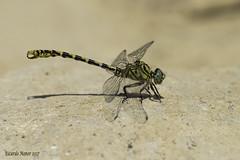 Onychogomphus forcipatus (Linnaeus 1758) Macho. Male (Ricardo Menor) Tags: odonatos anisópteros libélulas dragonfly dragonflies airelibre iluminaciónnatural riochívamo2017 ríochícamo 2017 onychogomphusforcipatus