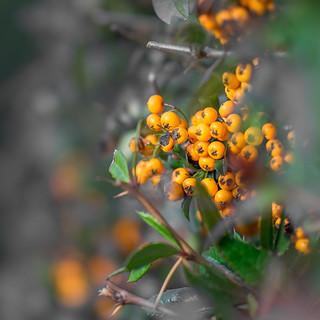 Winter berries...