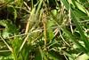 Sympetrum fonscolombii - Frühe Heidelibelle , NGID791612741 (naturgucker.de) Tags: ngid791612741 naturguckerde sympetrumfonscolombii wolfssteig crainerziebarth