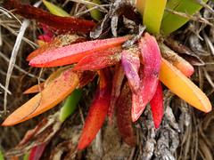 Colours of summer (jo.elphick) Tags: northhead moruya nsw australia beach pigfaceplant red orange purple yellow leaves succulent