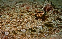 Flounder (kyshokada) Tags: flounder underwater reef pacific philippines puertogalera animalplanet sony a7 diving scuba marinelife macro