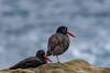 Perfect Pair (craig goettsch) Tags: blackoystercatcher pointlobos bird avian nature wildlife ocean blue nikon d500 ngc