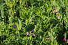 (christine_kuchem) Tags: acker ackerrand agrarlandschaft biene bienenfreund bienenweide blühstreifen blüte boden bodenverbesserung dünger düngung eiweisserbsen eiweis eiweiserbsen erbsen feld felder grün gründünger insekten klee kulturlandschaft landwirtschaft lupinen mischung nahrung nektar phacelia pisumspec ramtillkraut sommer verbesserung winter winterroggen bio biologisch blau lila naturnah natürlich