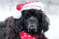 Merry Christmas from Santa Paws (NicoleW0000) Tags: dog newfoundlanddog pet animal outdoor snow snowy snowfalling winter christmas merrychristmas santahat portrait