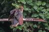 Hoatzin (2 of 5) (Tris Enticknap) Tags: nikkor300mmf4epfedvrlens nikond750 peru hoatzin opisthocomushoazin amazonbasin bahuajasonenenationalpark tambopata