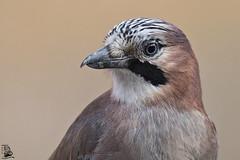 Garrulus glandarius (nonnogrizzly) Tags: garrulusglandarius ghiandaia uccello aves fauna natura animale bosco