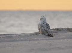 10 Mile Beach (slsjourneys) Tags: snowowl owl winter islandbeachstatepark